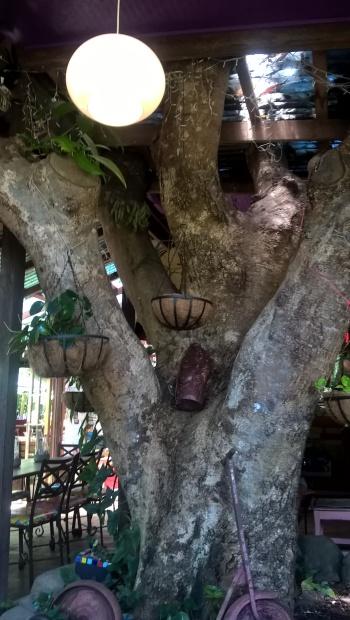 poinciana-cafe-tree
