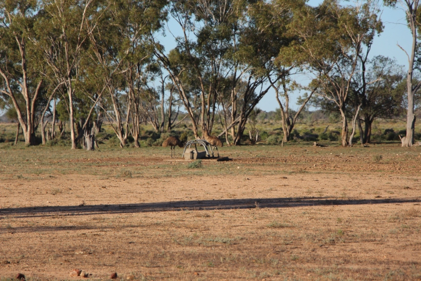 Emus in the distance