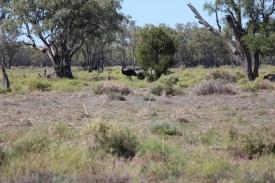 Less Camera shy emu