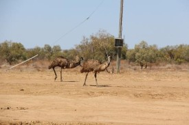 Emu's on parade. Heading to the old waterhole for a drink
