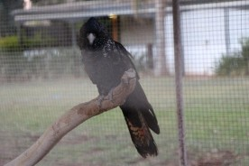 Black cockatoo is sad. (The other one had a seriously bad atitude and therefore is not photographed.