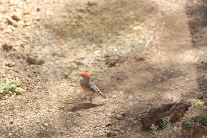 smae red bird.