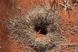 Harvester ant nest or hole with a beard? You decide
