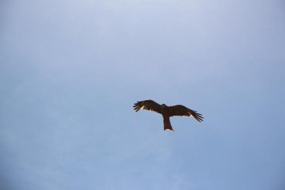 A black kite, you see a lot of these doing very well on roadkill