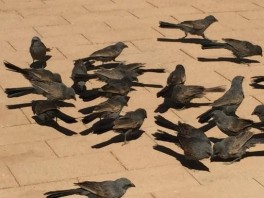 Apostle birds going crazy 'cause I spilled some chips accidentally.
