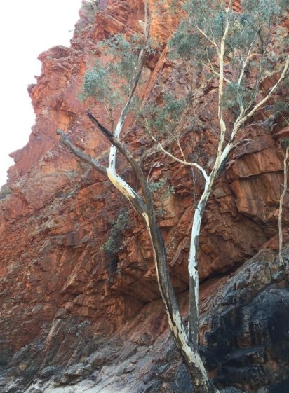Love the white of the gumtree against the red of the rock.