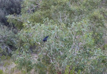 This crow is determined to get into that bush cocnut